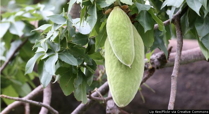 O fruto da árvore de baobá é rico em vitaminas