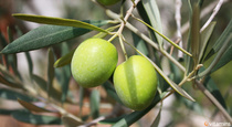 6 Reasons to Try Olive Leaf Extract
