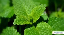 Why Lemon Balm Should Be In Your Medicine Cabinet