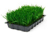A Look at the Health Benefits of Wheatgrass