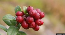Antioxidant Benefits of Lingonberry Support Longevity