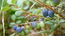 Bilberries Rich in Antioxidants for Circulation, Vision