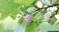 Boost Antioxidants, Fight Diabetes with White Mulberry