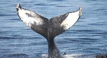 Demand for Krill Oil Hampers Whale Wildlife