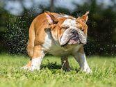 米国でイヌのインフルエンザが流行中