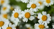 Prevent Painful Migraines With Feverfew