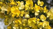 Promote Digestive Regularity With Senna