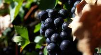 Resveratrol in Grapes Goes Beyond Protecting the Heart