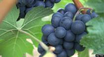 Resveratrol Keeps Cholesterol in Check
