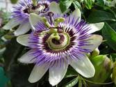 Stop Chronic Stress With Passionflower