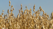 The Benefits of Oat Straw